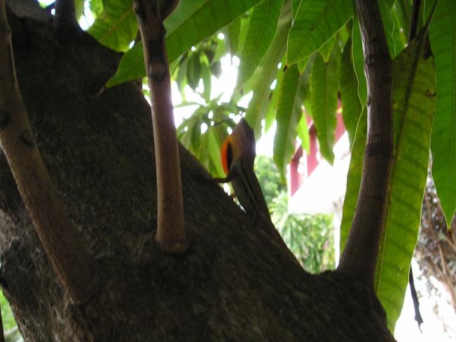 Hagedis in de mangoboom
