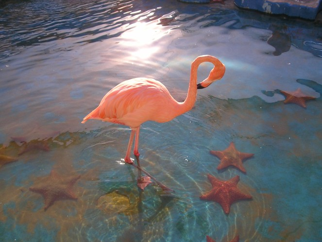 Flamingo in het Seaquarium