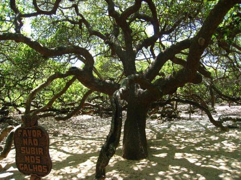 De grootste cashewnotenboom ter wereld