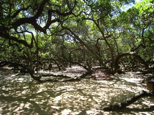 Geen bos, maar één cashewnotenboom