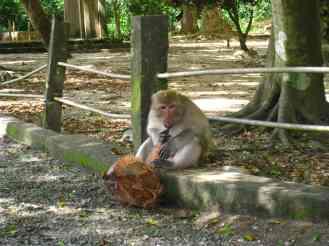 Aap met kokosnoot