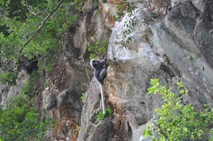 Chiew Lan Lake, zwart aapje