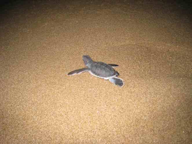 Klein zeeschildpadje