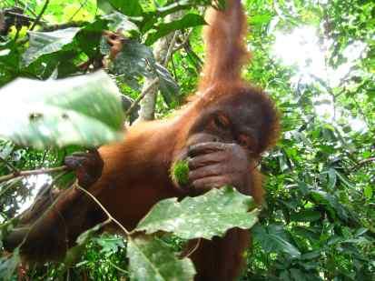 Orang oetan pakt fruit van ons aan