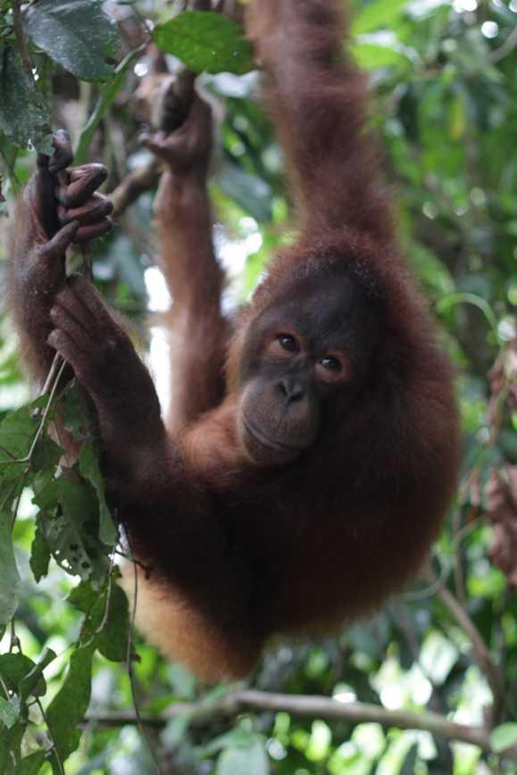 Uitgebroken orang oetan in Sepilok