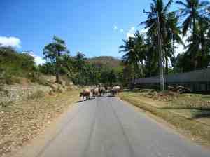 Koeien op de weg in Kuta