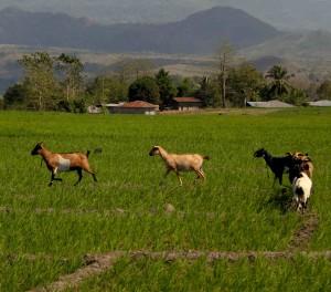 Rijstvelden vlakbij Labuan Bajo