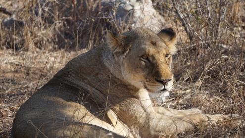 Kruger NP, onze eerste leeuw, big five #3