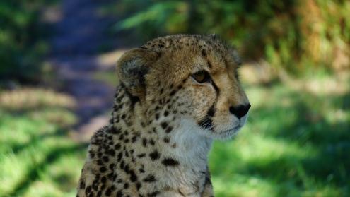 Tenikwa roofdierenopvang, vlakbij de cheetah!