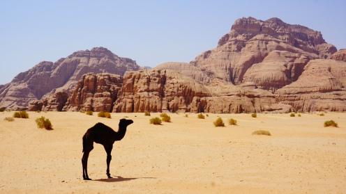 Wilde kameeltjes