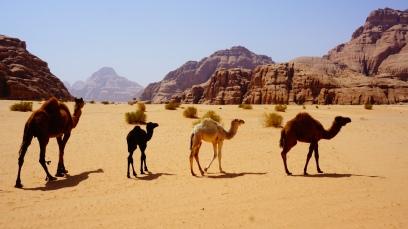 Wadi Rum, wilde kameeltjes