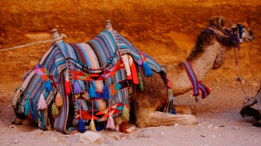 Petra, kameel
