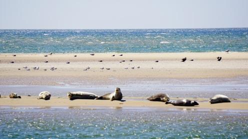 Zeehondjes op de zandbank voor Vlieland