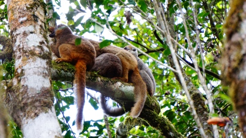 Red fronted brown lemur