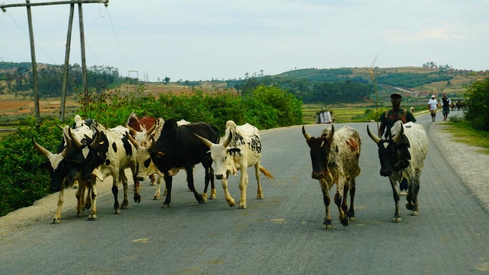 Zebu's op de weg