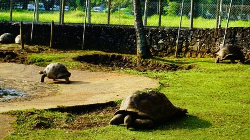 Pamplemousse, botanic garden, landschildpadden