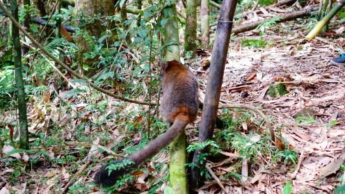 Great lemur