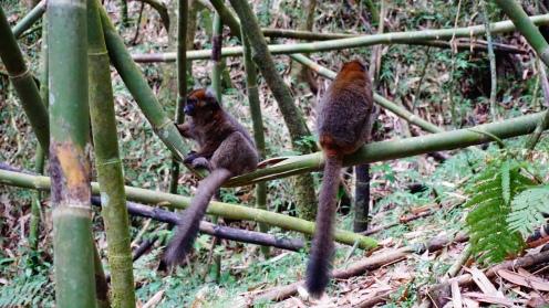 Great lemur, vader en dochter, de enige twee die nog over zijn in het park
