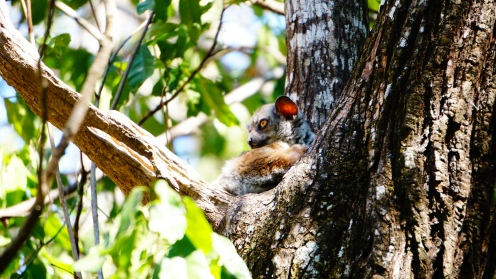 Tsingy NP, sportive lemur