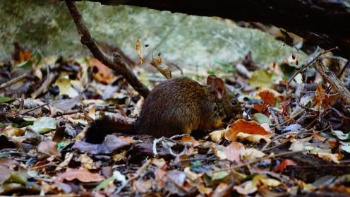 Tsingy NP, Western rat