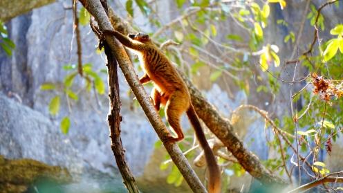 Tsingy NP, brown lemur