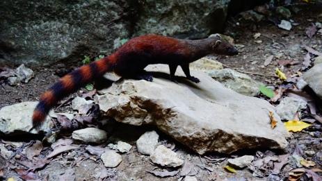 Tsingy NP, mongoose
