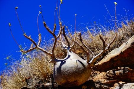 Isalo NP, mini baobab