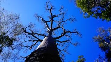 Zombitse NP, onze eerste baobab boom