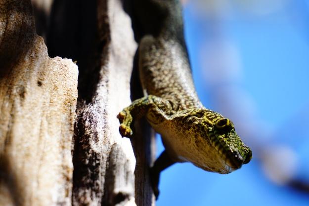 Zombitse NP, endemische gekko