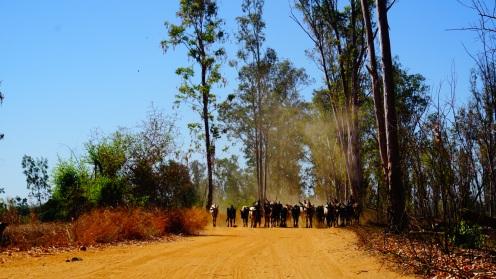 Tegenliggers op de weg: kudde zebu's
