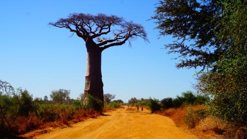 Baobabs in 't landschap