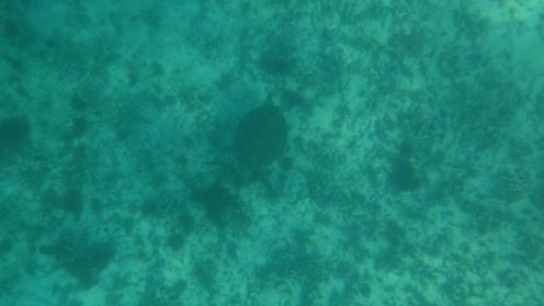 Tulum, schildpad